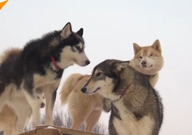Salvation of Siberian Huskies