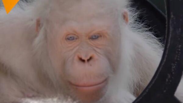Meet The Only Albino Orangutan In The World - Sputnik International