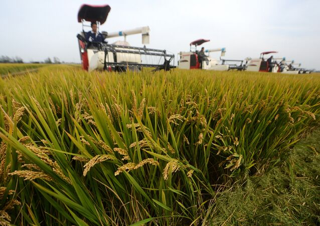 Chinese farmers harvest rice crops using combines in Xinghua in China's eastern Jiangsu province on October 23, 2017