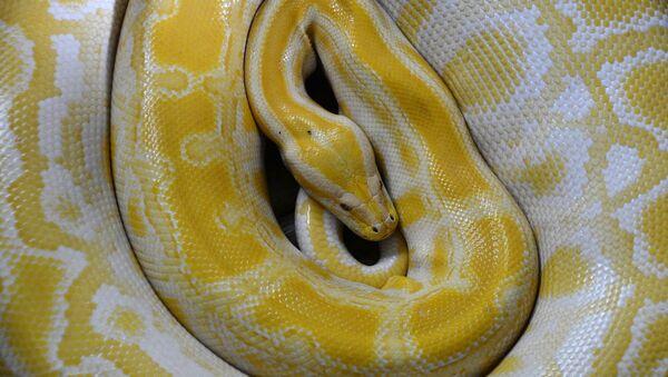 Golden python - Sputnik International