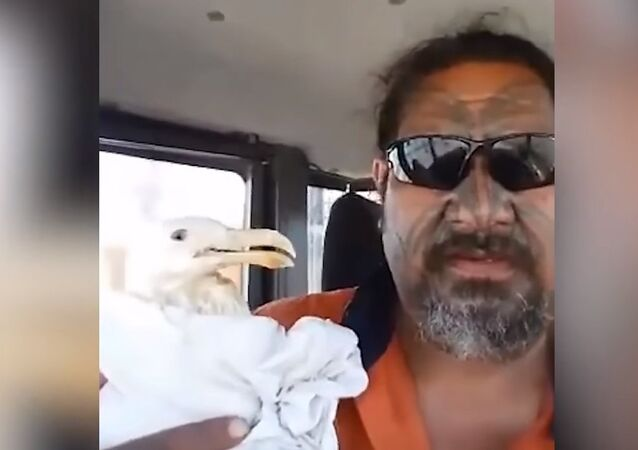 Classic Seagull Rescue in New Zealand