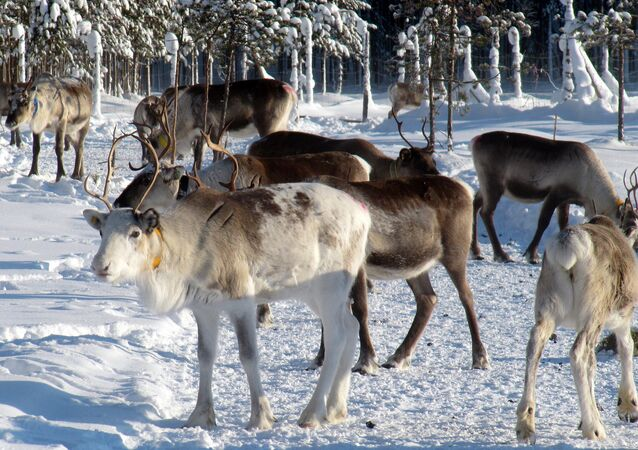 Reindeer herd in Lapland