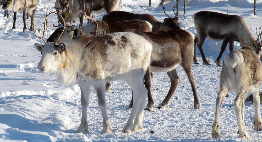 Reindeer herd in Lapland