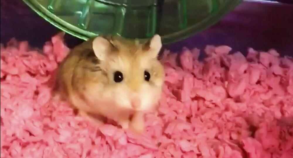 Pebbles, pet dwarf hamster.
