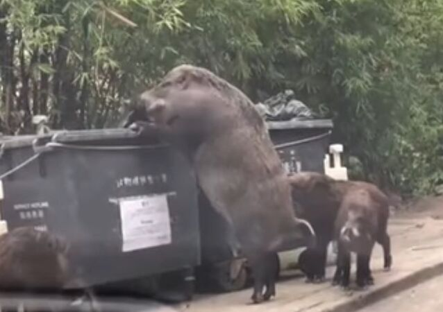 Humongous wild boar dubbed 'PIGZILLA' caught rummaging through bins 'just a few feet from primary sc