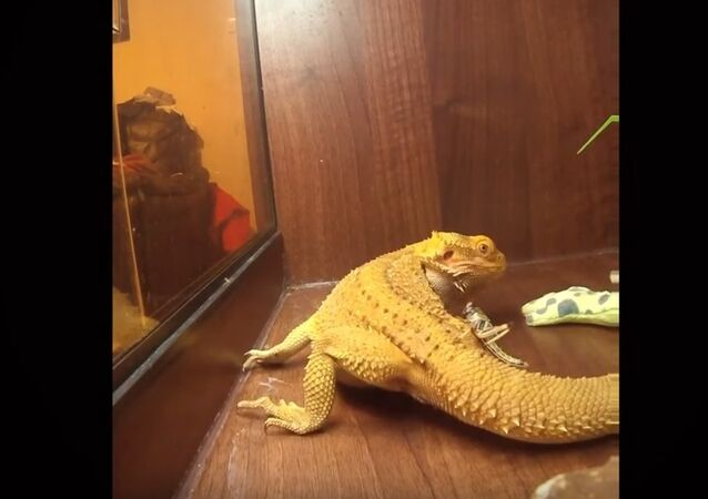 Grasshopper finds safest place to hide from hungry lizard