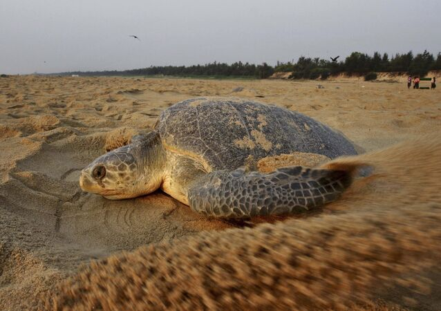 An Olive Ridley turtle drags sand to cover its nest after laying it at the Rushikulya river mouth beach in Ganjam district, 140 kilometers (88 miles) south of Bhubaneswar, India, Friday, March 13, 2015