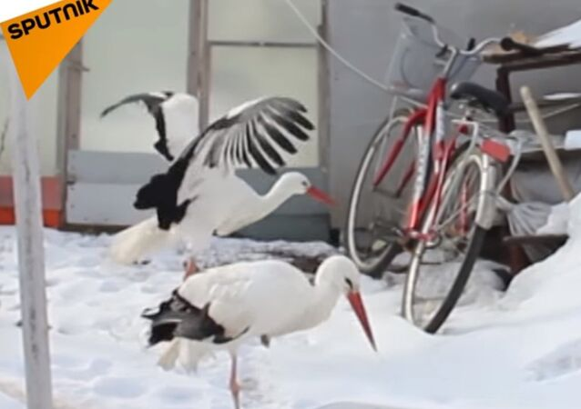 Man From Russia Adopts Rescued Storks