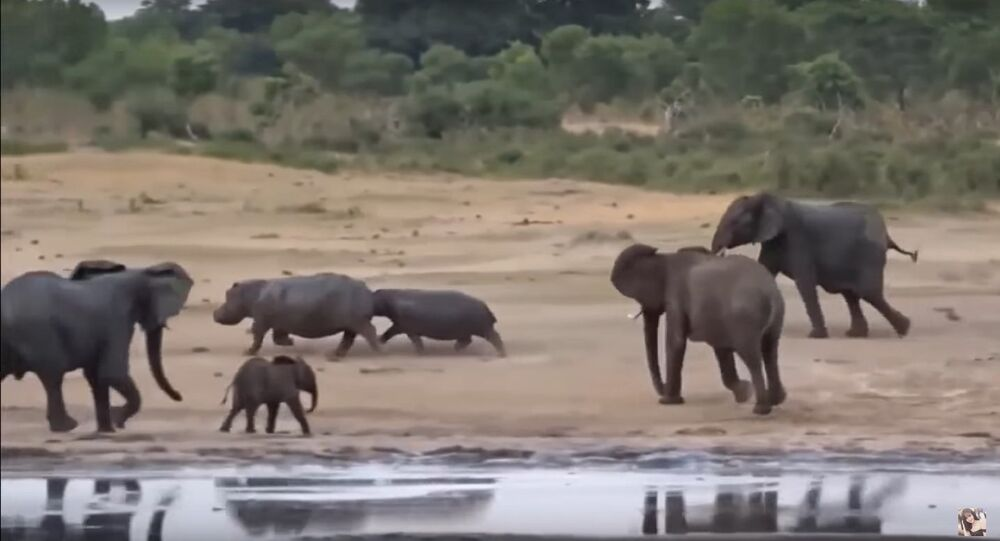OMG! Elephant Defends Her Baby From Two Hippo, Elephants attack Hippo to Success