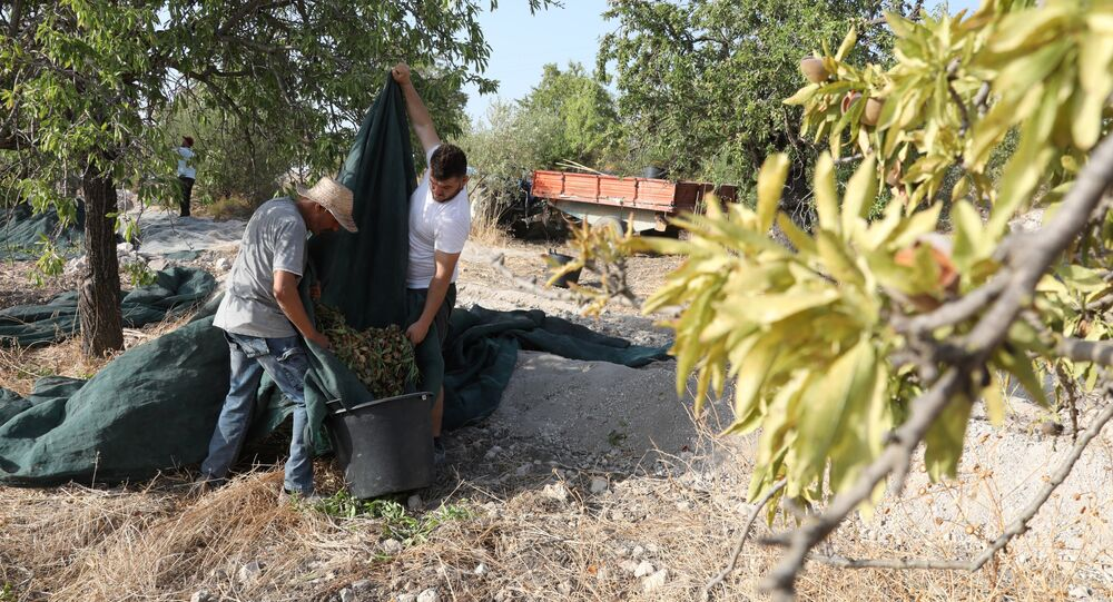 Farmes tap the branches of almond trees during the annual harvest at Villa Casale Modica di San Giovanni on August 11, 2017, in Rosolini, on the south Italian island of Sicily.