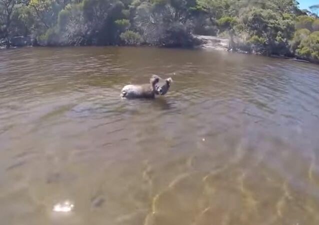 Koala Swims Across River