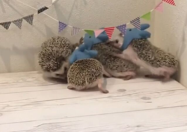 Hedgehog gathering - Family Of Hedgehogs In Fancy Dress - Hedgehogs in shark costumes