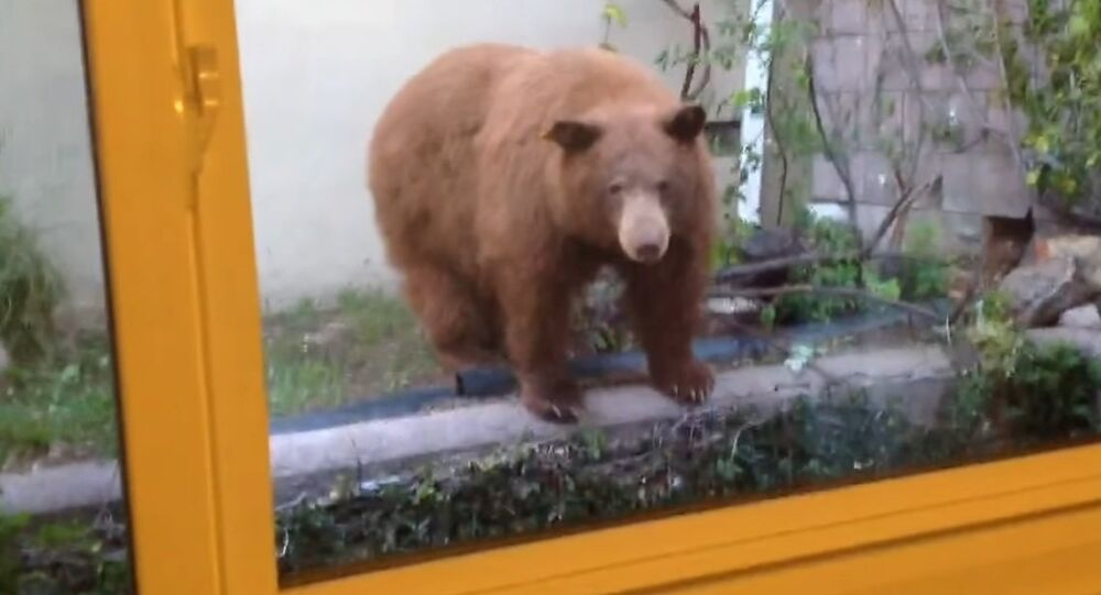 Backyard Bunch of Bears