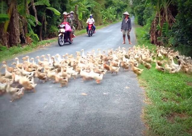 Stopped by a River of Ducks