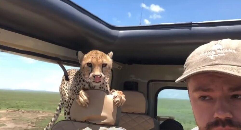 Cheetah hop in car during Safari in Tanzania