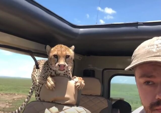 Cheetah hop in car during Safari in Tanzania
