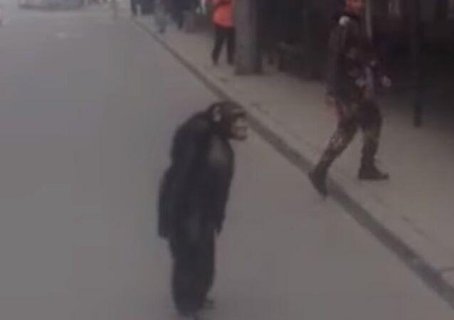 Richard The Chimpanzee Attempts Prison Break