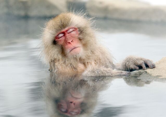 A Japanese snow monkey relaxes in a hot spring in the Jigokudani valley in northern Nagano Prefecture in Japan Friday, Feb 10, 2012
