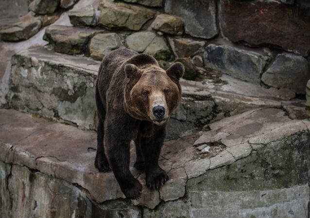 A brown bear (File)