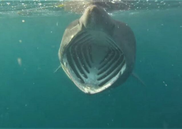 A diver's view of an open-mouthed basking shark