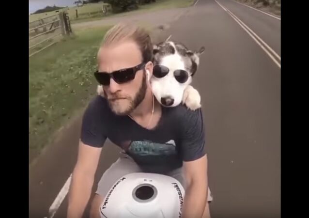 Dog Rides Behind Owner on Motorcycle