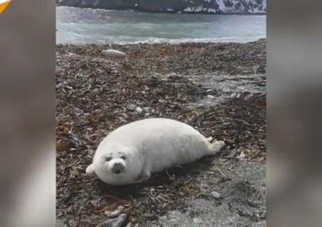 Seal calf