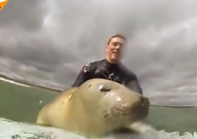 Little Seal is Dead Set on Learning How to Surf