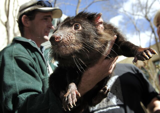 A Tasmanian Devil, a heavily built marsupial with a large head, powerful jaws, and mainly black fur, found only in Tasmania, is held by a wildlife officer on the grounds of Parliament House on Sept. 7, 2010