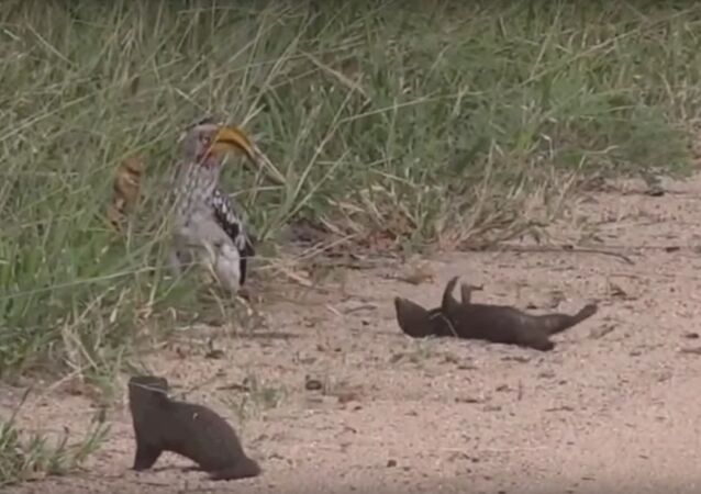 Safari Live : Dwarf Mongoose plays dead for a Hornbill this morning ( Funny ) March 27, 2018