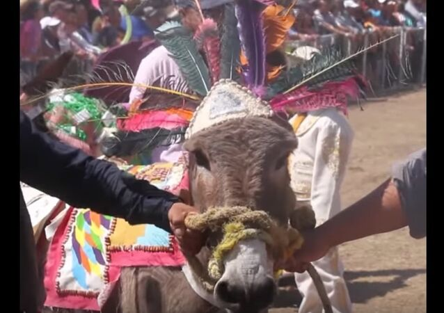 Day of The Donkey in Mexico's Otumba