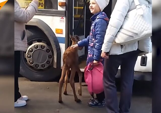 Russia: A Small Moose Tries to Catch a Ride on a Bus