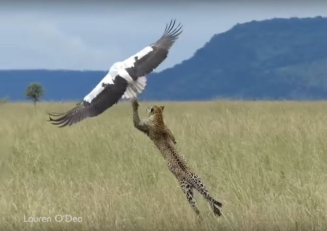Bird Makes Miraculous Escape From Hungry Leopard