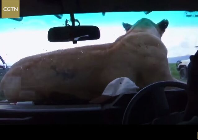 Lioness jumps on safari vehicle bonnet