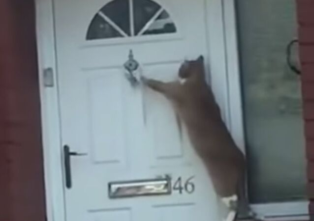 Funny cat just has to knock to get in
