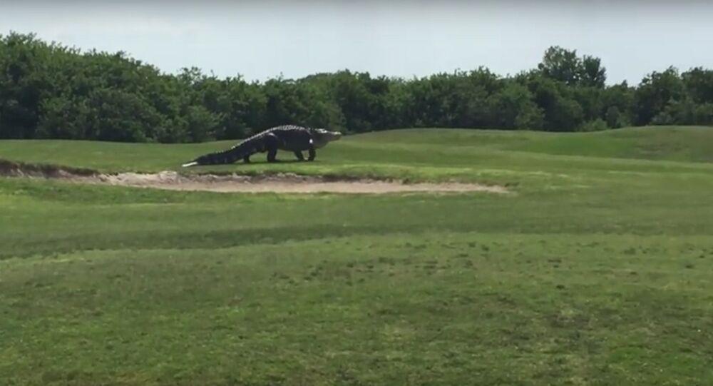 giant alligator