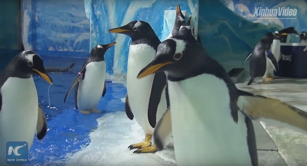 Penguins enjoy Kungfu study in Harbin Polarland in NE China