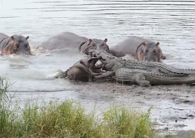Hippos Save Wildebeest from Crocodiles!