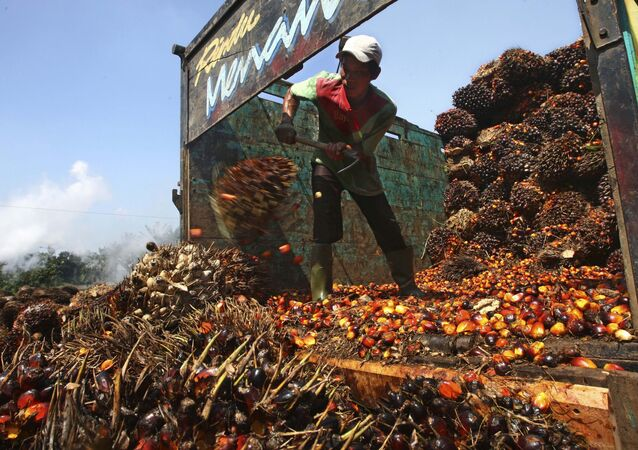 A worker unloads palm fruits at a palm oil processing plant in Lebak, Indonesia, Tuesday, June 19, 2012