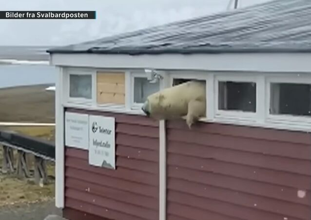 Killer polar bear escaping hotel