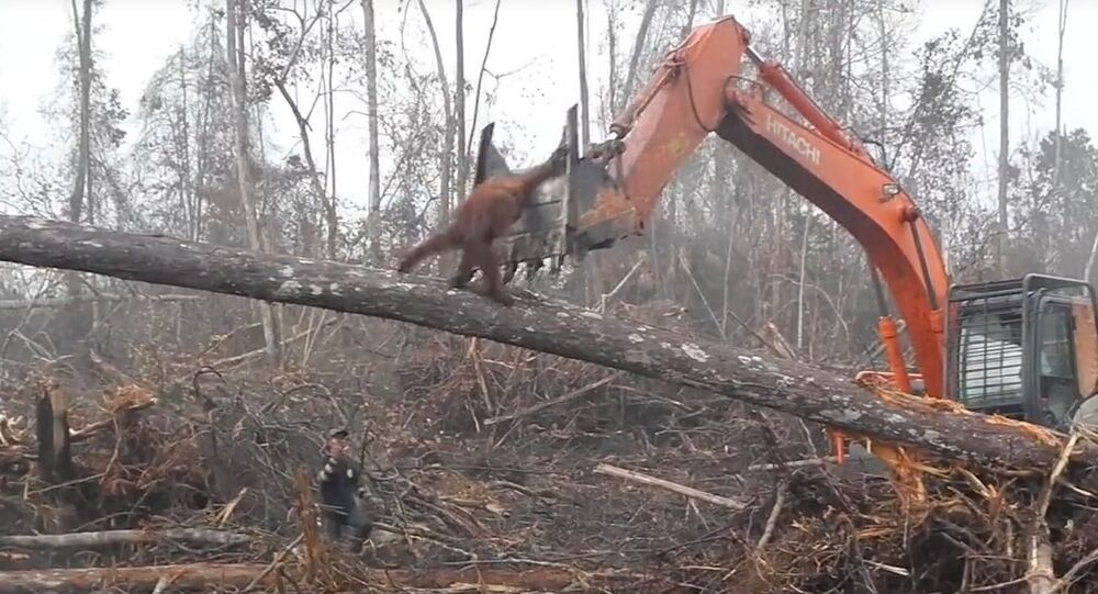 Orangutan filmed trying to fight off digger