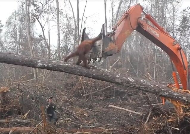Orangutan filmed trying to fight off digger