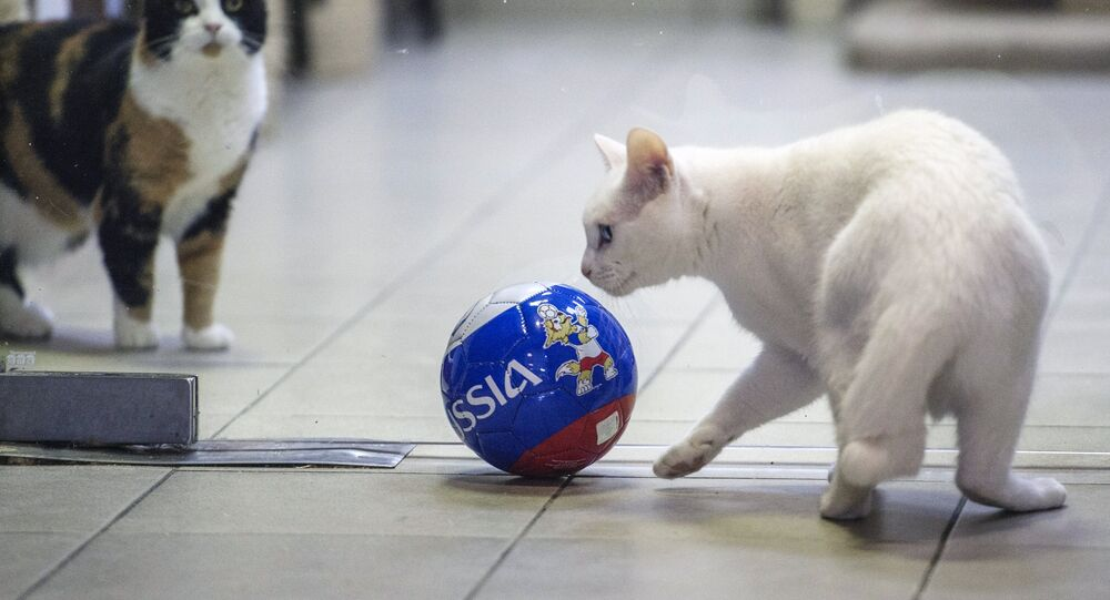 Achilles, right, the oracle cat, who works in the Hermitage Museum, went on a diet ahead of the 2018 FIFA World Cup Russia