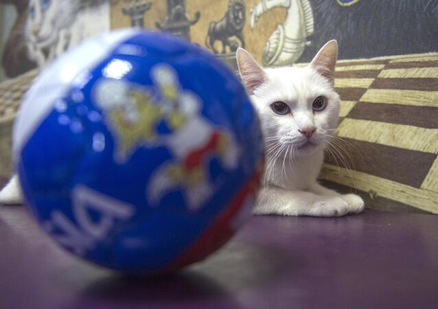Achilles, the oracle cat, who works in the Hermitage Museum, went on a diet ahead of the 2018 FIFA World Cup Russia
