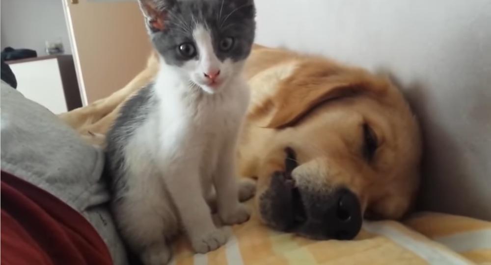 Kitten gets on doggo's nerves