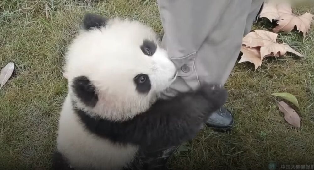 Panda cub needs a hug right now