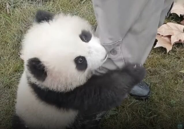 Panda cub needs a hug right now