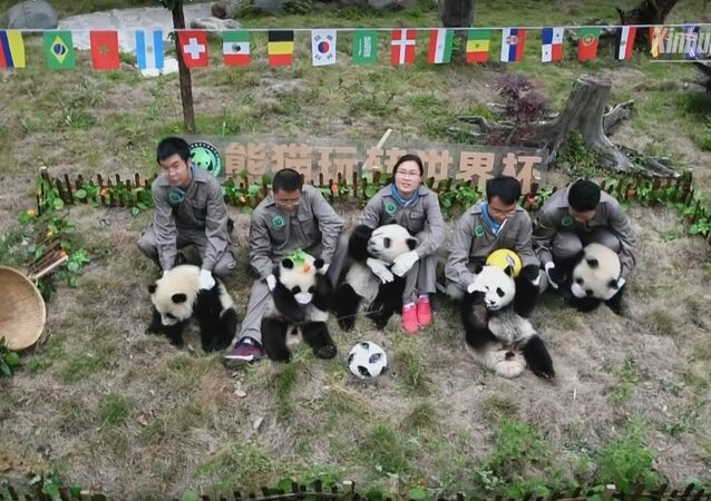 Adorable! Giant pandas' football party