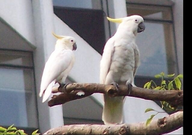 Yellow-Crested Cockatoo
