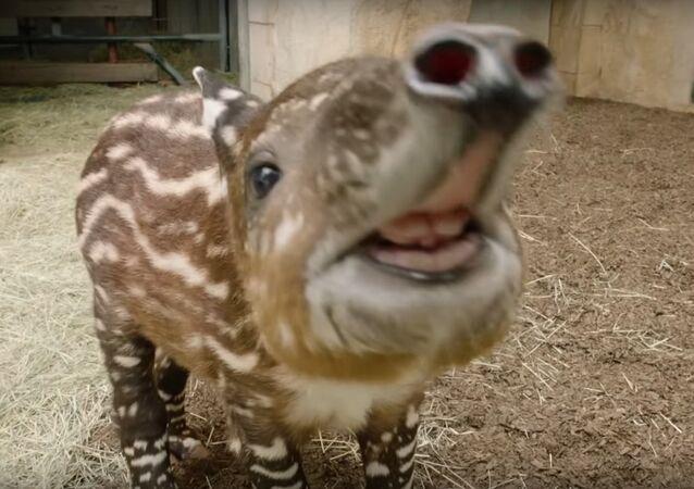 Endangered Baby Tapir Tests His Tiny Trunk