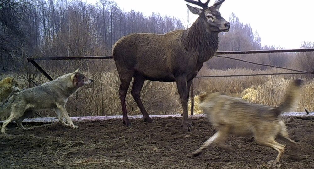 In this photo made in November 2014, wolves attack a deer close to Ukraine's Chernobyl, nearly 30-years after a nuclear reactor caught fire and spewed a lethal cloud of radiation, some species of mammals are found to be thriving without the effect of human contact in the area
